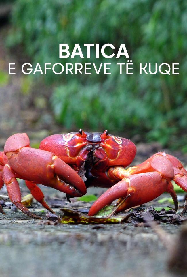 Batica e gaforreve të kuqe
